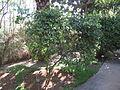 Carissa carandas - Jardin d'Éden.JPG