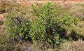 Carissa lanceolata plant.jpg