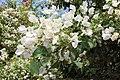 Caryophyllales - Bougainvillea glabra 'Alba' - 3.jpg