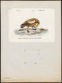Casarca rutila - 1842-1848 - Print - Iconographia Zoologica - Special Collections University of Amsterdam - UBA01 IZ17600287.tif