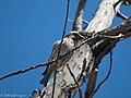 Cassin's Finch (female) Leslie Canyon NWR Douglas AZ 2017-10-15 11-33-04 (37071047233).jpg