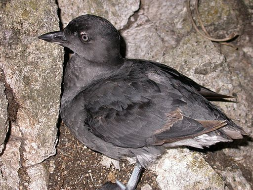 Cassin's auklet 2