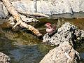 Cassins finch male 1 (7375164186).jpg