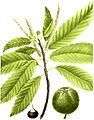 Castanea dentata, Torrey's Flora of NY 2-40c.jpg