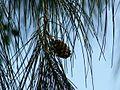 Casuarina equisetifolia (2095674740).jpg