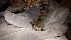 Податотека:Cat kneading blanket.gk.webm