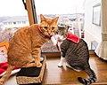 Cats wearing Christmas decoration; December 2019 (04).jpg