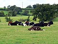 Cattle in a field west of Braydon Side - geograph.org.uk - 902974.jpg