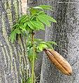 Ceiba pentandra (L.) Gaertn. Kapok Tree Malvaceae (19044815179).jpg