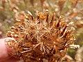 Centaurea macrocephala (28723358584).jpg