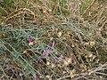 Centaurea sadleriana2.JPG