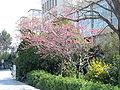 Cercis siliquastrum spring.jpg