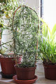 Ceropegia linearis subsp. woodii (22656199466).jpg