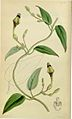 Ceropegia thwaitesii Curtis Botanical Magazine vol.80 tab.4758.jpg