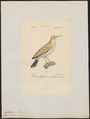 Certhilauda desertorum - 1842-1848 - Print - Iconographia Zoologica - Special Collections University of Amsterdam - UBA01 IZ16100375.tif