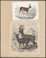 Cervus capreolus - 1700-1880 - Print - Iconographia Zoologica - Special Collections University of Amsterdam - UBA01 IZ21500007.tif