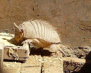 Andean hairy armadillo species of mammal