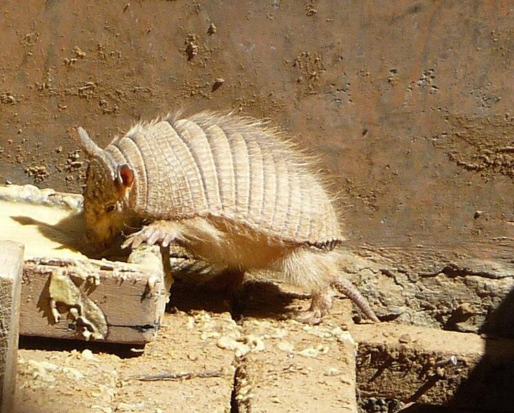 File:Chaetophractus nationi, Oruro, Bolivia - 20090824.jpg
