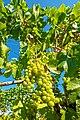 Chardonnay (43837306741).jpg