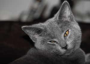 Portrait of a chartreux cat. 4 months old.