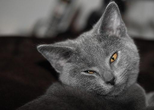 Chartreux-cat-edouard-marie