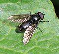 Cheilosia (Nigrocheilosia) sp. - Flickr - S. Rae (2).jpg