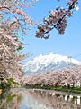 Cherry Blossom Tree And Mount Iwaki (Hirosaki, Japan).jpg