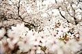 Cherry blossom, Japan; March 2013 (10).jpg