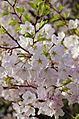Cherry blossom and leaves a-poppin - 2013-04-09 (8634786575).jpg