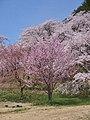 Cherry blossom trees in Goshonodai Fureai Park 20210416e.jpg