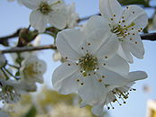 Cherry tree flower close-up.JPG