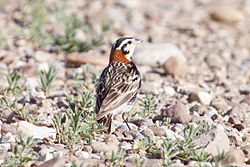 Chestnut-collared Longspur, Calcarius ornatus, male.jpg