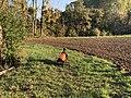 Chien près Champ Fasses - Saint-Cyr-sur-Menthon (FR01) - 2020-10-31 - 1.jpg