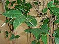 Chimonanthus praecox, lower, a, Manie van der Schijff BT.jpg