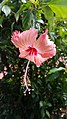 Chinese hibiscus 2.jpg