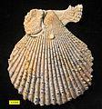 Chlamys Pliocene Cyprus.jpg