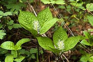 Chloranthaceae - Chloranthus fortunei