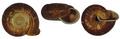 Chloritis balatensis shell.png