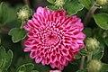 Chrysanthemum Debonair 1zz.jpg