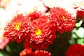 Chrysanthemum x grandiflorum Foxy Marjorie 0zz.jpg