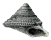 drawing of apertural view of trochiform shell