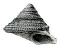 Chytra kirki shell 3.png