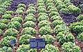 Cichorium endivia field.jpg