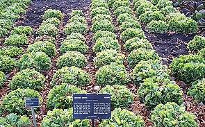 Endivien-Feld (Cichorium endivia)