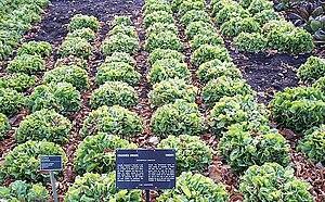 English: Endive at the Jardin botanique de Mon...