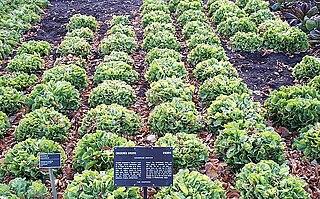 <i>Cichorium endivia</i> species of plant