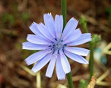 Closeup photograph of blue chicory flower