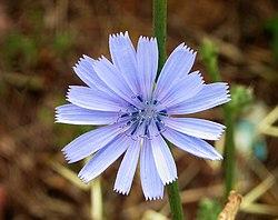 کاسنیها Cichorium گیاهان دارویی گونه کِشتی گونه وحشی