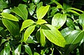Cinnamomum verum kz2.jpg