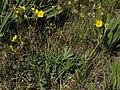 Cinquefoil, Potentilla gracilis var. fastigiata (24940621654).jpg